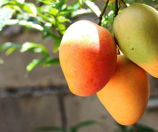 Once your mangoes are ripe, there are many refreshing drinks and dishes you can make.
